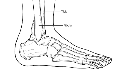 Diagram of ankle indicating location of tibia and fibula.
